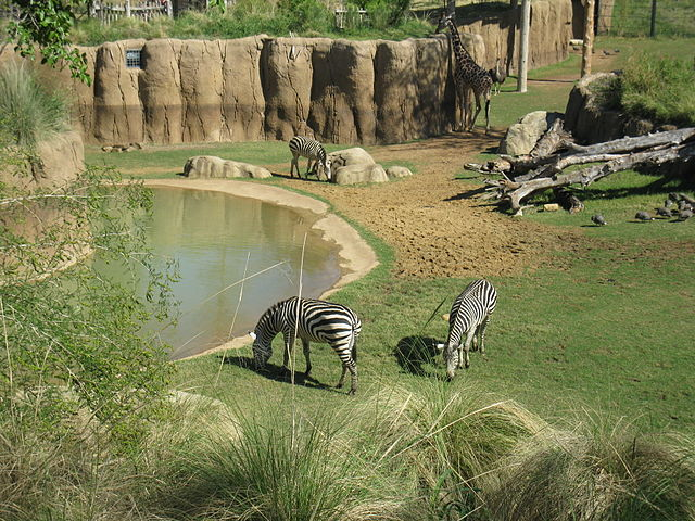 640px-dallas_zoo_zebra